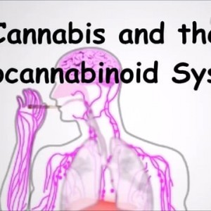 Cannabis and the Endocannabinoid System on Vimeo